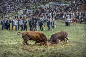 RPS Ribbons - Mei Zeng (China)Bull Fighting