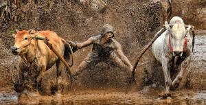 PSA Gold Medal - Lee Eng Tan (Singapore)  Pull Cow Muddy
