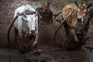 KBIPC Gold Medal - Tieqiang Li (China)  Pacu Jawi Cow Race 6