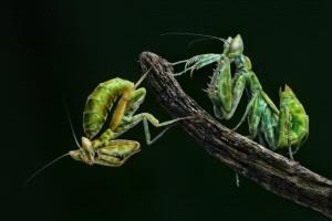 KBIPC Gold Medal - Foo Say Boon (Malaysia)  2 Mantis