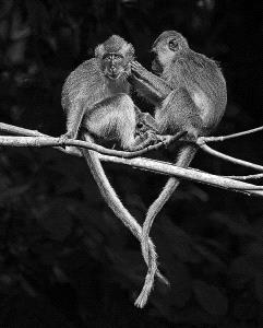 KBIPC Merit Award - Yiu Nam Chan (Singapore)  Monkeys In Love M