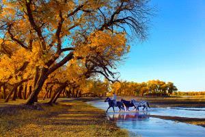 PSA HM Ribbons - Zhong Chen (China)  Golden Populus