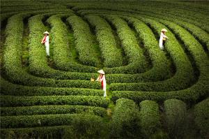 PSA HM Ribbons - Yuejia Huang (China)  Tea Garden Scenery