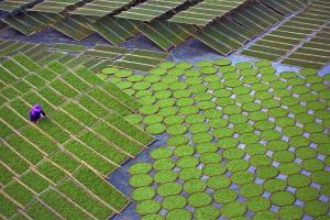PSA HM Ribbons - Chengle Zheng (China)  Bask Tea
