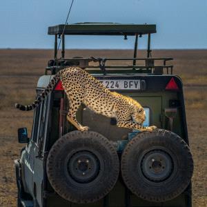 PhotoVivo Honor Mention e-certificate - Haiqiu Gao (China)  Cheetah