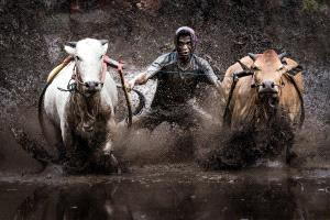 APU Gold Medal - Sandi Lesmana (Indonesia)  Racing Cow