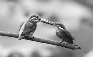 PhotoVivo Honor Mention e-certificate - Fengying Long (China)  Kingfishers15