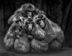 ICPE Honor Mention e-certificate - Chin Leong Teo (Singapore)  Fear Macaques Colour Bw