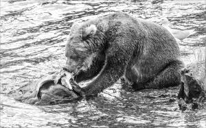 KBIPC Merit Award e-certificate - Phillip Kwan (Canada)  Bear Eat Fish On Rock 5 Bw