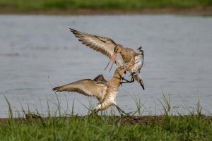 PhotoVivo Gold Medal - Subrata Bysack (India)  Fight With Leg On Neck